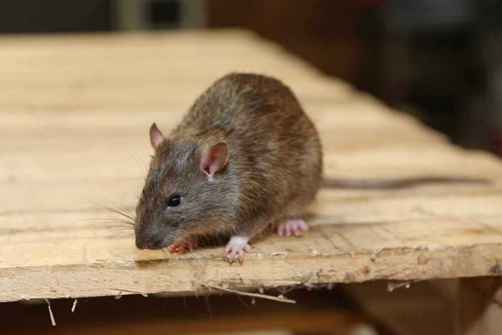 Real health risks posed by mice and rat infestations