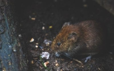 Know Your Enemy: How to Identify Rodent Droppings